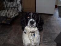 english springer spaniel 10 month old male