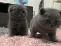 Stunning blue kittens for sale