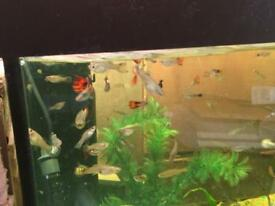 Various size guppies male and female