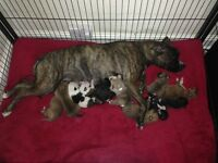 11 American bulldog puppies