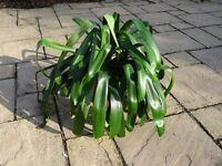 Large Houseplant - Clivia