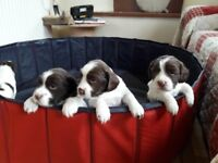 English springer spaniel puppies KC reg