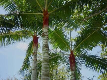Redneck Palm - Dypsis Leptocheilos - teddy bear Casula Liverpool Area Preview