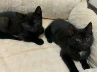 2 male rare Ghost Tabby kittens for sale!