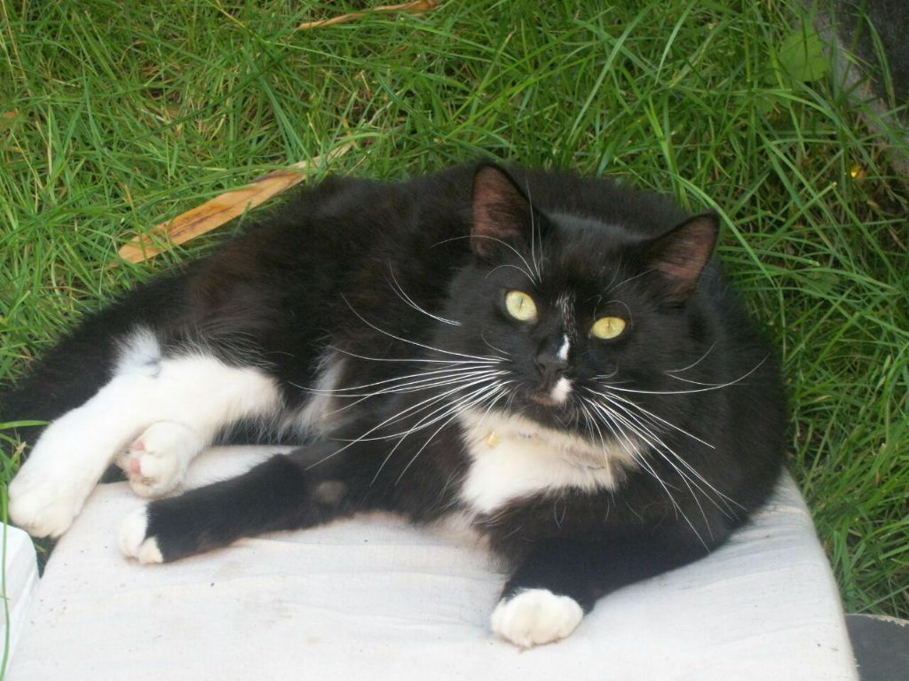 Missing Cat Long Haired Black Cat With White Chest And