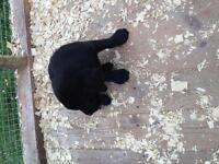 Purebread black lab male pup
