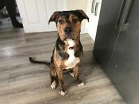 11 Month old mongrel puppy looking for a loving home
