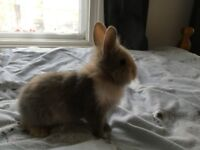 Small Rabbit For Sale In London