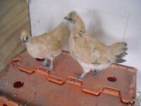 2 young gold top pullets