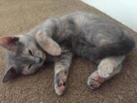 Beautiful British Shorthair Blue and Cream Kittens