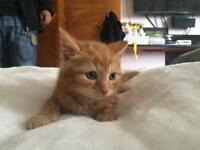 Beautiful green eyed ginger kitten
