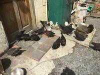 Chickens and cockerels for sale