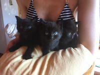3 beautiful black female kittens for sale