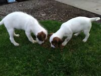 Jack Russell Pups & Dogs For Sale