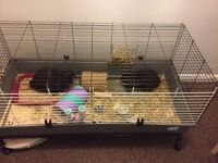 2 mini lop bunnies £50