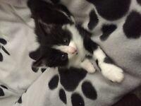 Black and White Girl Kitten