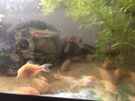 Aquarium fish Albino corydoras,white catfish for sale