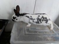 Baby English Rabbit s for sale