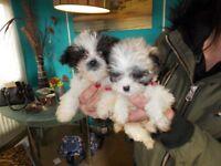2 x jack Russell x shitzu puppys