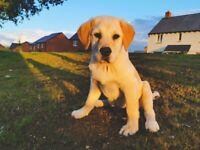 Female Golden Labrador Puppy - 6 months