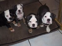 Old English blue tri Bulldog puppies FOR SALE
