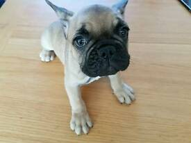 French bulldog boy looking for forever home
