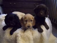 F1 Cockapoo Puppies, ready from October 18th a stunning litter of Apricot & Black