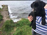 Labrador pups KC reg & Fully vaccinated.
