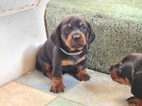 Dachshund puppys for sale