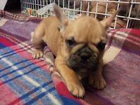 French bulldogs , pups , French bulldog pupies cream
