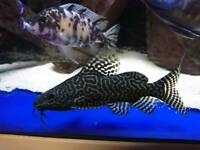 Various cichlids haps and peacocks