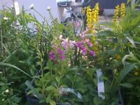 B&Q FOXGLOVE GARDEN PLANTS X6