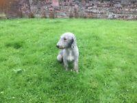 Bedllington terrier