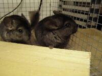 Chinchilla for sale 3 months old dark grey female.