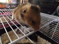 Syrian Hamster boy 11 weeks old, well handled, Last one!!