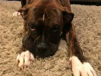 Boxer dog Male 9 months
