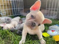 Health check French bulldogs top quality