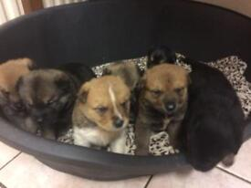 Rottweiler x Akita puppies for sale