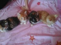 6 adorable long haired kittens