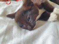 1/2 Ragdoll Kittens
