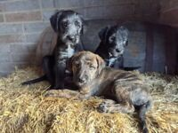 Bedlington cross whippet puppies