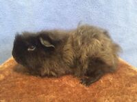 2 longhaired male guinea pigs