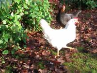 Chickens Pullets Hens coming to point of lay