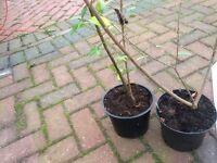 Hedge row shrubs legustrum