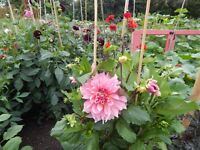 WANTED Land to rent in Ely (for growing Dahlias, herbs & some veg)