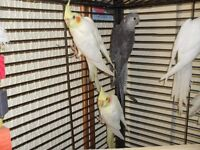 baby hand tame cockatiels for sale