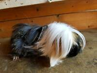 Long hair peruvian guinea pig