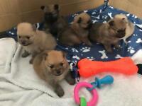**** Pomeranian puppies ready 21st may ****