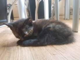 8 week old kitten READY TO LEAVE...