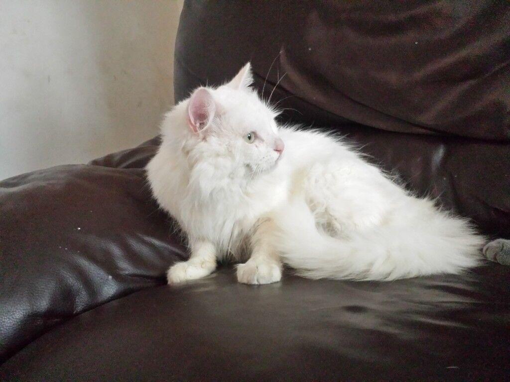 Lovely Fluffy Turkish Angora White Kittens Cats Chocolate Brown